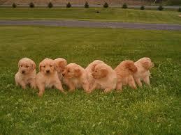 gold golden retriever. Simple Golden Gold Hunt Police Look For Missing Golden Retriever Puppy  News  Dailyitemcom With I