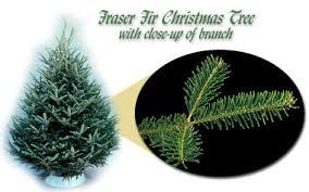 Best 25 Real Christmas Tree Ideas On Pinterest  DIY Pine Types Of Fir Christmas Trees