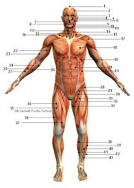 Muscular System Picture - Anterior (Front) View