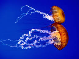 atlantic ocean sea nettles jellyfish wallpaper