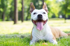 Image result for pitbull in a pile of dog toys
