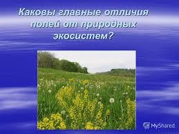 Презентация на тему Экосистема поля Поле это экосистема  3 Каковы главные отличия полей от природных экосистем