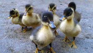 Defying Stereotypes Ducklings Are As Clever As They Are