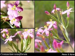 Centaurium tenuiflorum (Hoffmanns. & Link) Fritsch: FloraBase ...