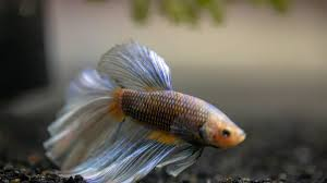 Best Betta Fish Food A Complete Guide To Selecting And