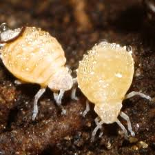 root aphid