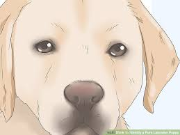 3 Easy Ways To Identify A Pure Labrador Puppy Wikihow