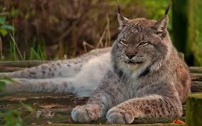 lynx size lynx night hunter dinoanimals com