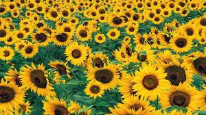 sunflower wallpaper free 1600x900 sunflower wallpaper hd