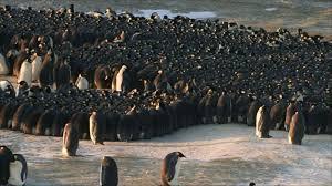emperor penguin huddle. Delighful Huddle Intended Emperor Penguin Huddle E