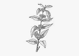 Coffee plant concept, branch with leaf and bean in vintage style. Coffee Bean Plant Vector Coffee Bean Clipart Coffee Leaf Vector Png Free Transparent Png Download Pngkey