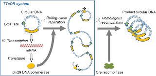 Dna Replication Definition Self Replication Of Circular Dna By A Self Encoded Dna Polymerase