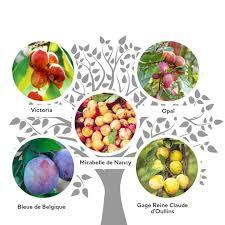 Methley Plum  Plum Trees  Stark Brou0027sPlum Fruit Tree Varieties