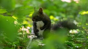 Grey Squirrel Age Chart Study Origins Of Black Squirrels Discovered Anglia Itv News