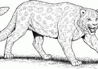 Coloring Pages For Kids Lepards With Clouded Leopard Coloring Page
