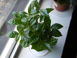 a coffee plant with smooth dark green pointed leaves opposite on stems