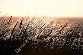 tall grass silhouette. Unique Tall Tall Grass Silhouette At Sunset On The North Sea In Netherlands Intended Grass Silhouette