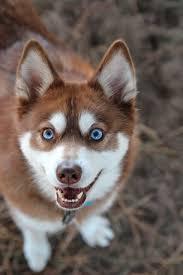 alaskan klee kai size alaskan klee kai dog breed everything about alaskan klee kais