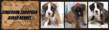 puppies for boxer puppies for in new jersey white boxer puppies for healthy boxer puppies german and european boxers breeders with