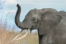 seven surprising elephant facts zoobooks seven surprising elephant facts