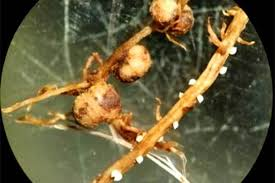 Ohio Soybean Cyst Nematodes Fall Is The Time For Sampling