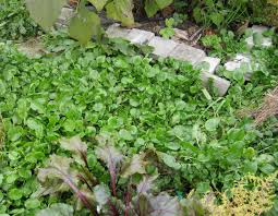 garden greens. Making Pesto From The Garden Greens