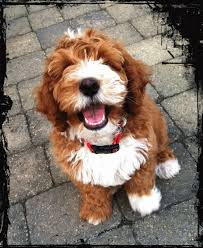 Small Picture labradoodle colors Google Search His is the color Im hoping for