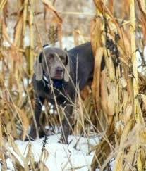 a weimaraner dog is standing outside in snow in tall brown corn stalks