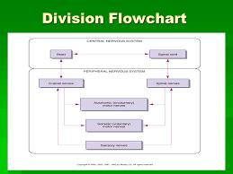 Nervous System Flow Chart The Nervous System Health Science 1 Ms Marta Valdes