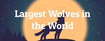 Wolf Species Size Chart 5 Largest Wolves In The World Largest Org