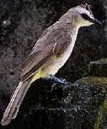Trucukan atau sering disebut burung trucuk memiliki suara kicauan yang tidak kalah merdu dengan suara burung cucak rowo. Suara Burung Mp3 Trucukan Ropel Ngebren Dengar Dan Download Om Kicau