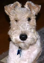 wire hair terrier mix breeds. Delighful Breeds Look Itu0027s Tin Tinu0027s Dog SnowyMilou Also Known As A Wire On Wire Hair Terrier Mix Breeds