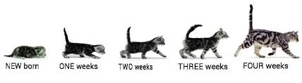 Kitten Size Chart 42 Unbiased Growth Chart For Kittens