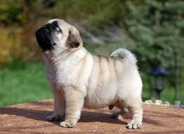 pug puppy wallpaper. Brilliant Puppy My Pug Obsession More Cute Puppies  For Puppy Wallpaper L