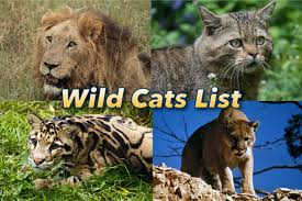Wild Cats List With Pictures Facts All Types Of Wild Cats