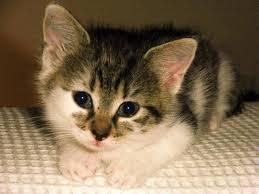 Bildergebnis für gefleckte katzenbabys