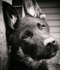 black and white german shepherd photography. Wonderful White German Shepherd Dogs Fill Our Hearts With Love And Homes Laughter  And Hair What Is Your Favorite Thing About Dog On Black And White Shepherd Photography E