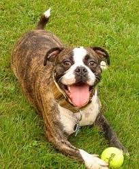 a brown brindle with white miniature australian bulldog is laying in gr with a tennis ball