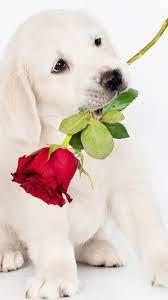 White dog, rose 750x1334 iPhone 8/7/6 ...
