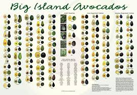 Avocado Tree Size Chart Big Island Avocados All 107 Varieties That Grow On The