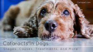 cataracts in dogs ses causes treatmentore