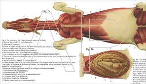 Horse Equine Muscle Skeletal Anatomy Veterinary Poster 24 X