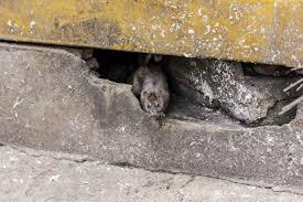 bruine rat in tuin