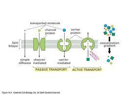 Active Vs Passive Transport Venn Diagram Cell Membrane Transport Flow Chart Cell 83211450003 Active And