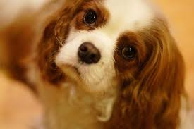 not only is the cavalier king charles spaniel one of the most people loving breeds