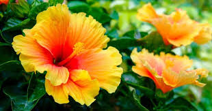hibiscus flowers hibiscus tree how to grow and care for a hibiscus plant