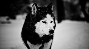 ➤ wolf wallpapers posted in animals category and wallpaper original resolution is 2560x1439px. Wolf Wallpapers 1920x1080 Wallpaper Cave