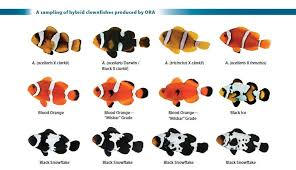 Clown Fish Identification Chart A Sampling Of Various Types Of Intraspecific Interspecific