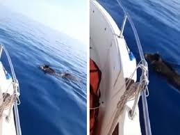Il video dei cinghiali in mare è virale sui social - Corriere Nazionale