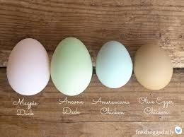 14 Surprise Egg Layers Chicken Egg Color Chart Www